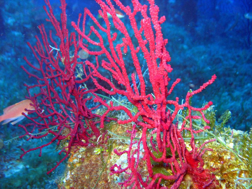 Corallo in zona punta Spadillo a Pantelleria
